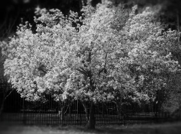 Photograph - Magnolia Tree In Black And White by Angie Tirado