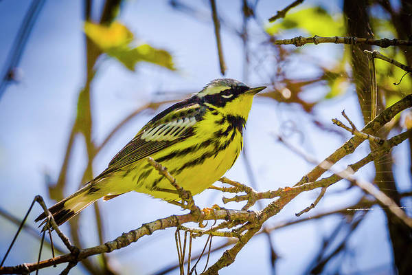 Photograph - Magnolia Warbler - Magee Marsh, Ohio by Jack R Perry