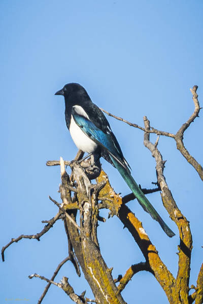 Photograph - Magpie by Albert Seger