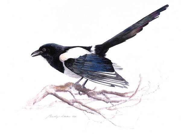 Painting - Magpie by Attila Meszlenyi