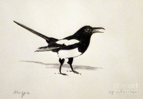 Magpies Drawing - Magpie by Cheryl Emerson Adams
