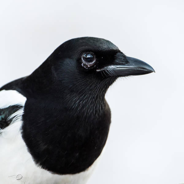 Photograph - Magpie Portrait by Torbjorn Swenelius