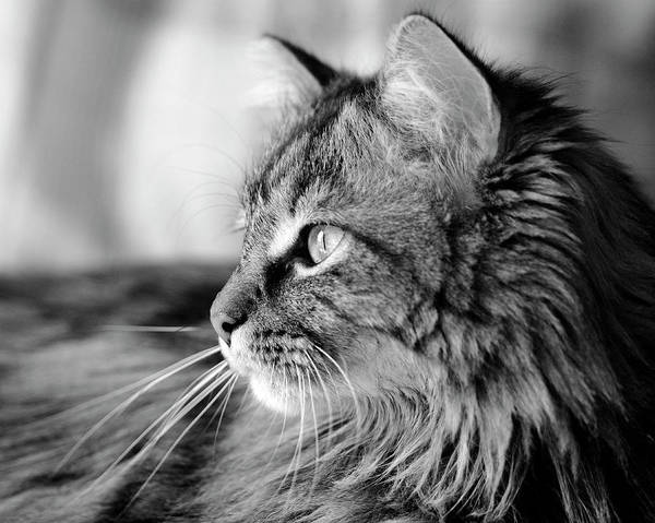 Photograph - Maine Coon Black And White by Angela Murdock