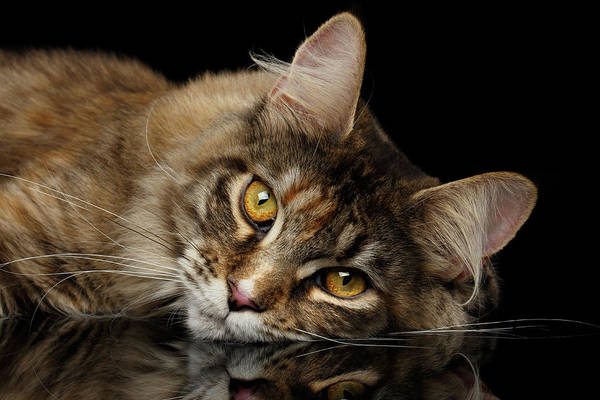 Wall Art - Photograph - Maine Coon Cat Lying, Looks Cute Isolated On Black Background by Sergey Taran