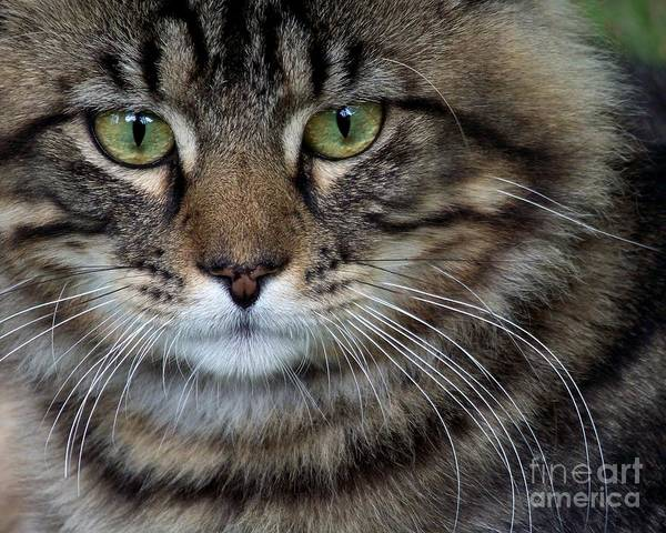 Long Hair Cat Photograph - Maine Coon Cat Portrait by Jai Johnson