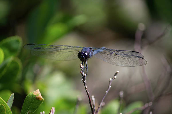 Photograph - Maine Dragonfly by Kirkodd Photography Of New England