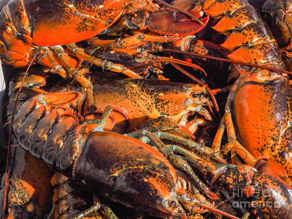 Photograph - Maine Lobsters by Robin Zygelman