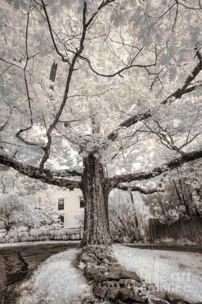 Photograph - Maine Neighborhood Tree by Craig J Satterlee