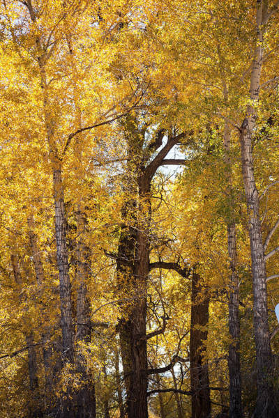 Photograph - Majestic Aspens by Marilyn Hunt