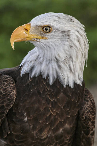 Photograph - Majestic Bald Eagle by Wes and Dotty Weber
