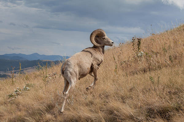 Photograph - Majestic Bighorn  by Fran Riley