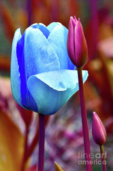 Photograph - Majestic Elegance Of Tulips by Silva Wischeropp