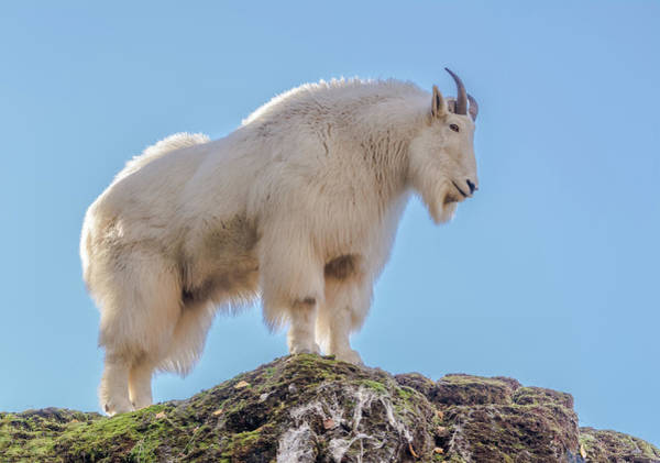 Clear Coat Wall Art - Photograph - Majestic Goat by Marv Vandehey
