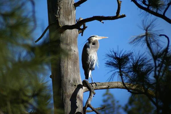 Photograph - Majestic Great Blue Heron 1 by Ben Upham III