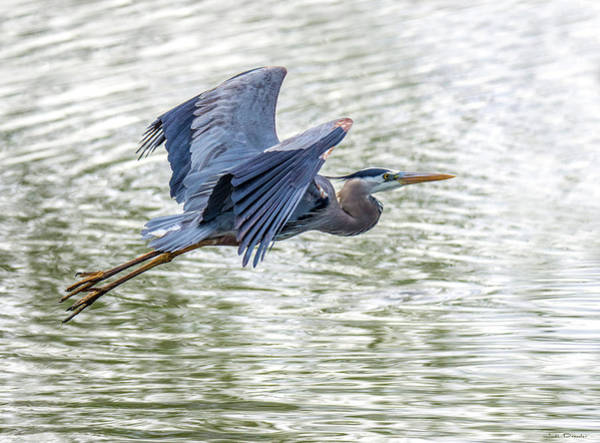 Photograph - Majestic Great Blue by Judi Dressler