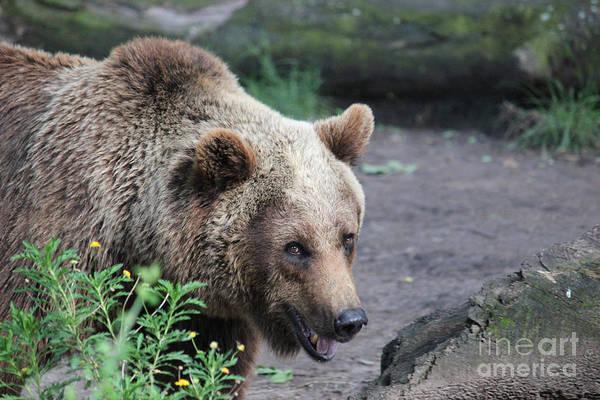 Photograph - Majestic Grizzly by Wilko Van de Kamp