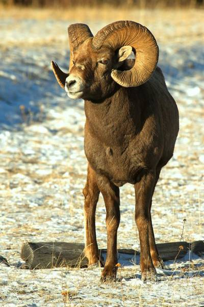 Photograph - Majestic Jasper Bighorn by Adam Jewell