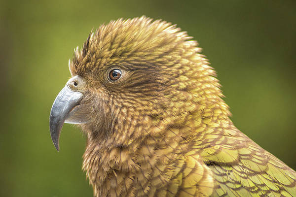 Photograph - Kea Portrait by Racheal Christian