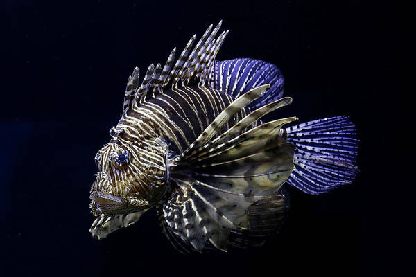Photograph - Majestic Lionfish by Debi Dalio