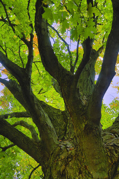 Acer Saccharum Photograph - Majestic Maple 2 by Gary Hall