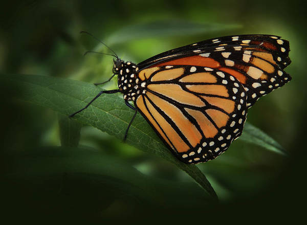 Photograph - Majestic Monarch by Marie Leslie