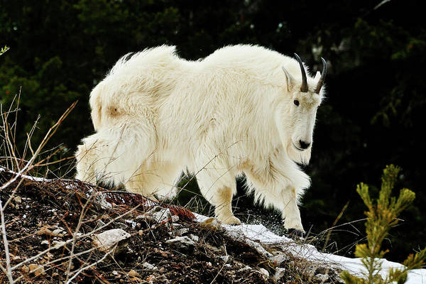 Art Print featuring the photograph Majestic Mountain Goat by Greg Norrell