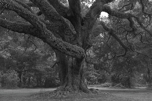 Wall Art - Photograph - Majestic Oak II by Richard Rizzo