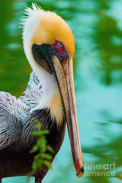 Photograph - Majestic Pelican 48 by Ricardos Creations