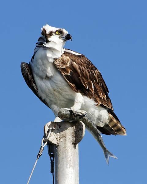 Photograph - Majestic Sea Hawk by KJ Swan