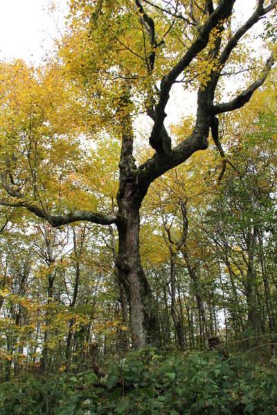 Photograph - Majestic Tree by Allen Nice-Webb