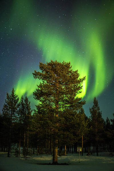 Photograph - Majestic Tree Under The Northern Lights Karasjok Norway by Adam Rainoff