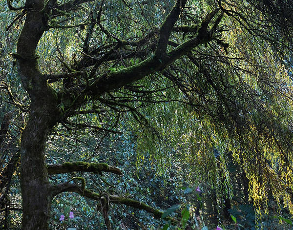 Weeping Willow Wall Art - Photograph - Majestic Weeping Willow by Marion McCristall