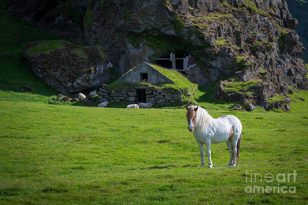 Sheep Rock Wall Art - Photograph - Majestic White Horse In Iceland by Michael Ver Sprill