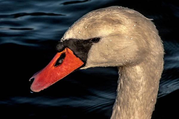 Photograph - Majestical Swan by Wolfgang Stocker