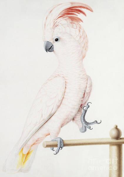 Major Painting - Major Mitchell's Cockatoo by Nicolas Robert
