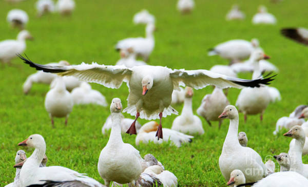 Snow Goose Photograph - Make Room by Mike Dawson