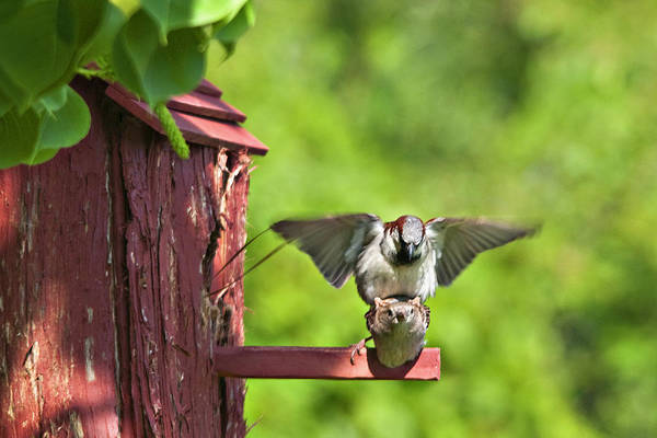 Wall Art - Photograph - Making Baby Sparrows by Bill Perry