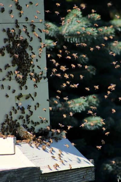 Photograph - Making Honey - Portrait by Colleen Cornelius