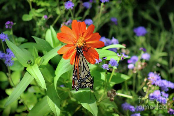 Photograph - Making Monarchs by Karen Adams
