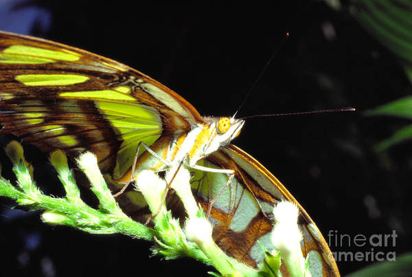 Photograph - Malachite Butterfly by Thomas R Fletcher