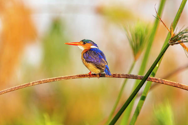 Photograph - Malachite Kingfisher Hunting by Kay Brewer