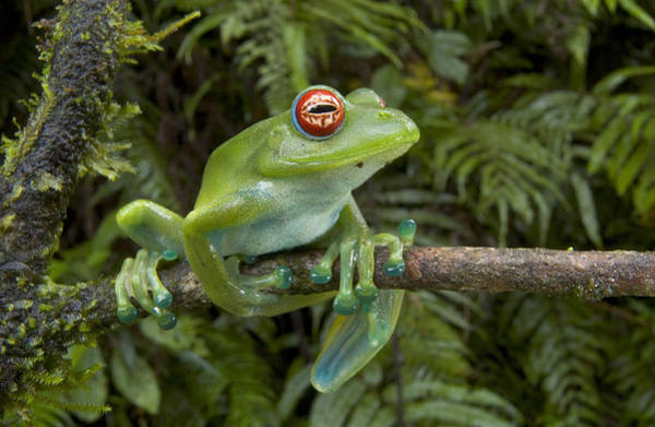 Photograph - Malagasy Web-footed Frog Boophis Luteus by Piotr Naskrecki