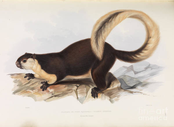 Painting - Malayan Giant Squirrel by Celestial Images