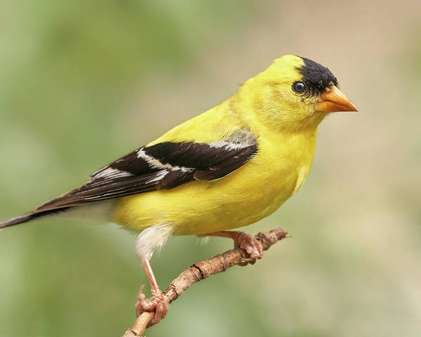 Photograph - Male American Goldfinch by Jim Hughes