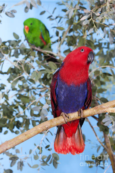 Eclectus Parrots Photograph - Male And Female Eclectus Parrot by Gerard Lacz