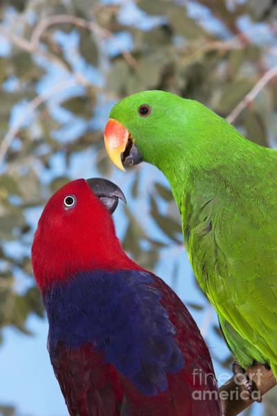 Eclectus Parrots Photograph - Male And Female Eclectus Parrots by Gerard Lacz