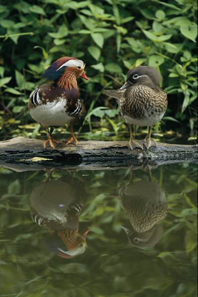 Mandarin Duck Photograph - Male And Female Mandarin Ducks On A Log by Tim Laman