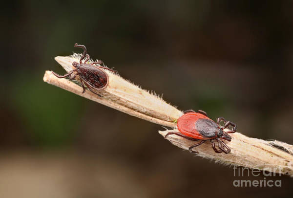 Photograph - Male And Female Ticks by Matthias Lenke