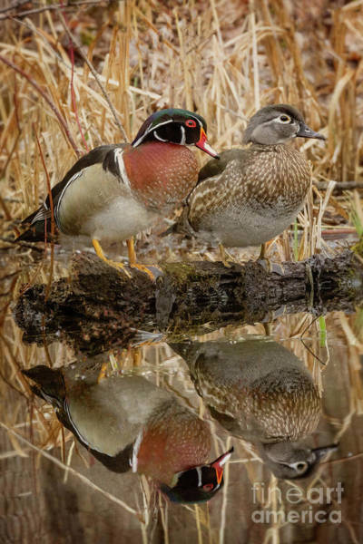 Wall Art - Photograph - Male And Female Wood Duck by Todd Bielby