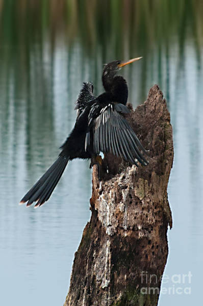 Photograph - Male Anhinga On Stump by Photos By Cassandra